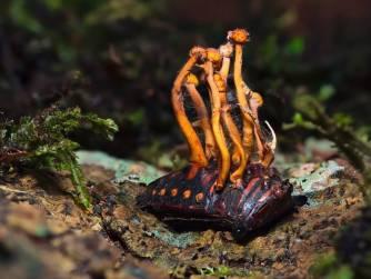 Zašto sportisti uzimaju Cordyceps gljivu