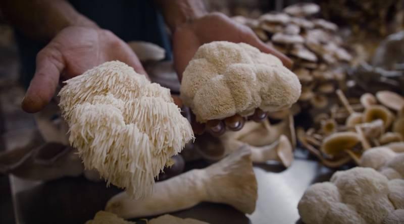 Dve medicinske gljive za mozak, potenciju i energiju