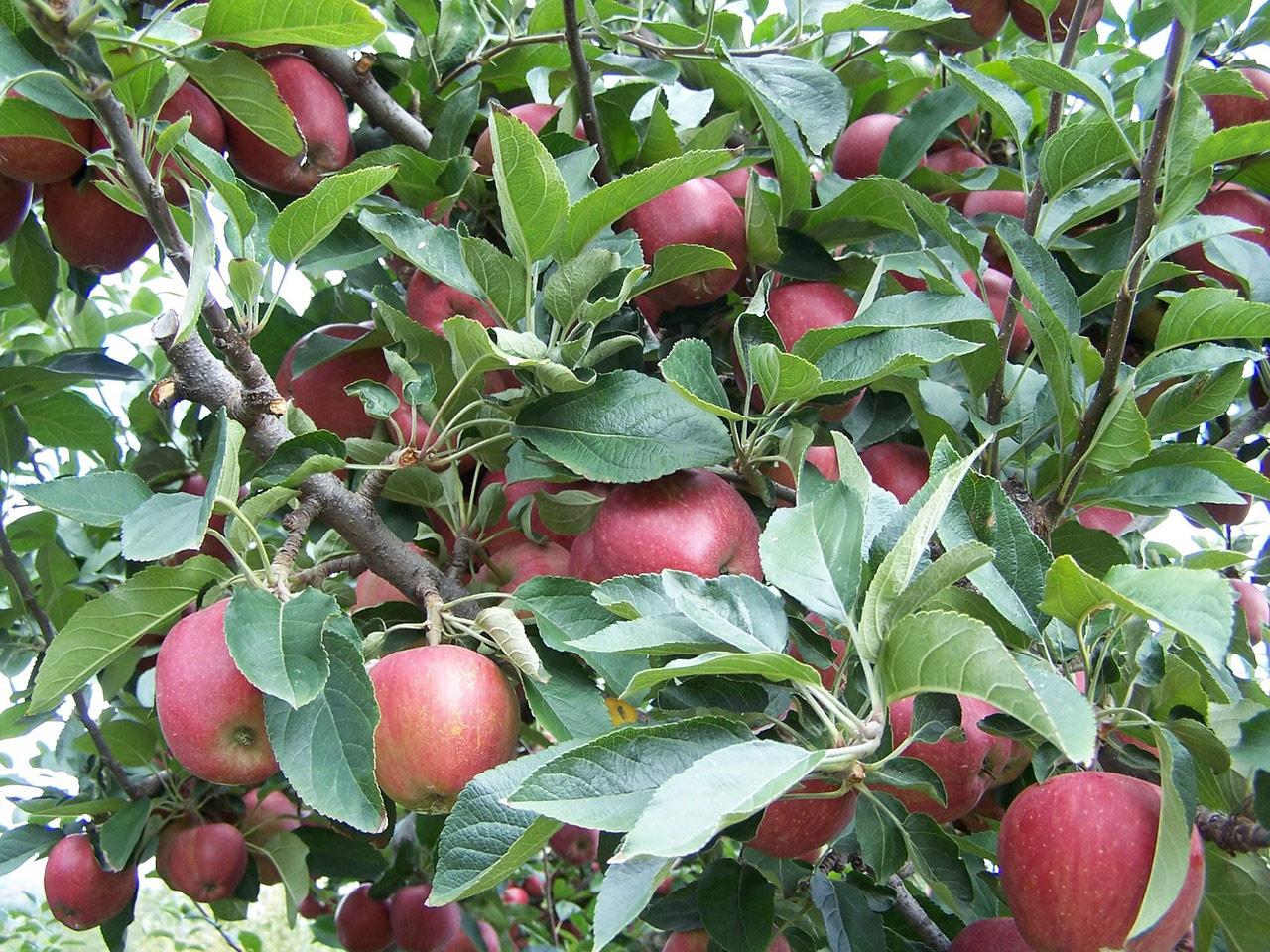 Voćnjak jabuke